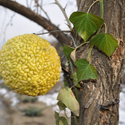Image of osage orange.