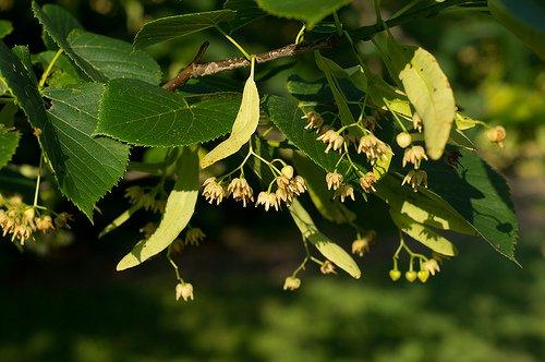 Tilia americana, flowers