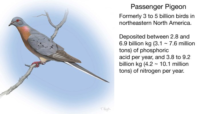 Image of passenger pigeon